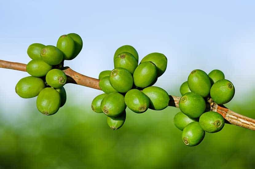 Le café vert est le grain de café qui n'a pas encore été torréfié