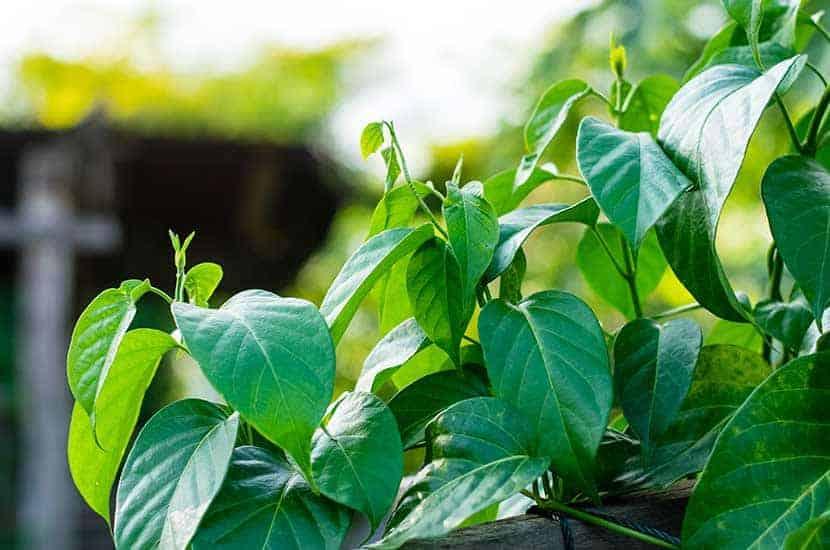 Le Gymnema sylvestre contient des composés ayant des propriétés anti-obésité
