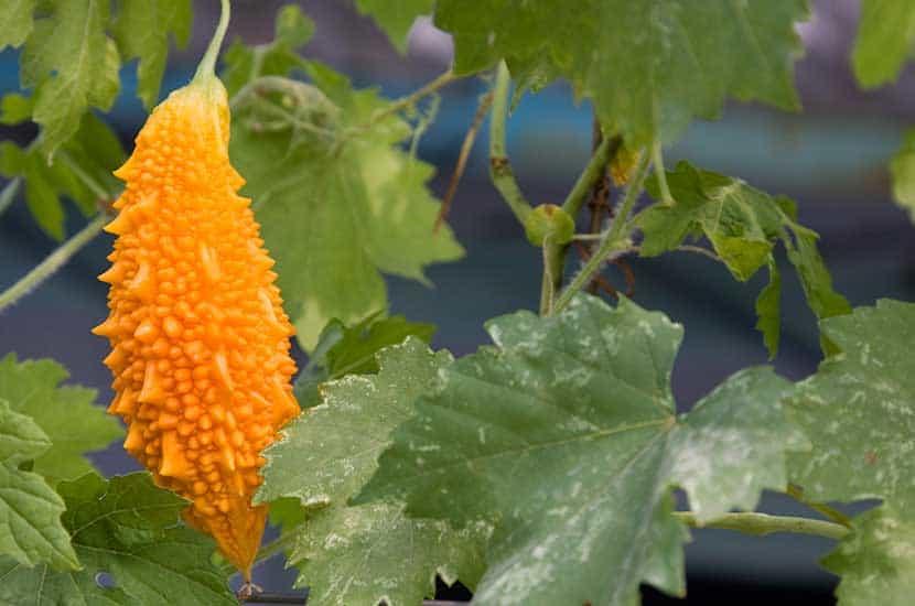 Le melon amer est capable d'inhiber la synthèse des graisses