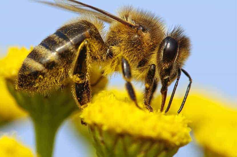 L'apitoxine est un dérivé du venin d'abeille